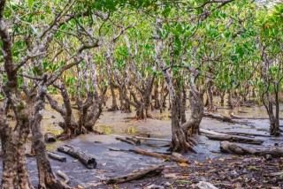 住用マングローブの原生林